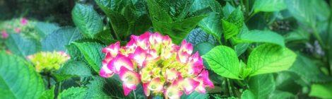 紫陽花、咲いてる
